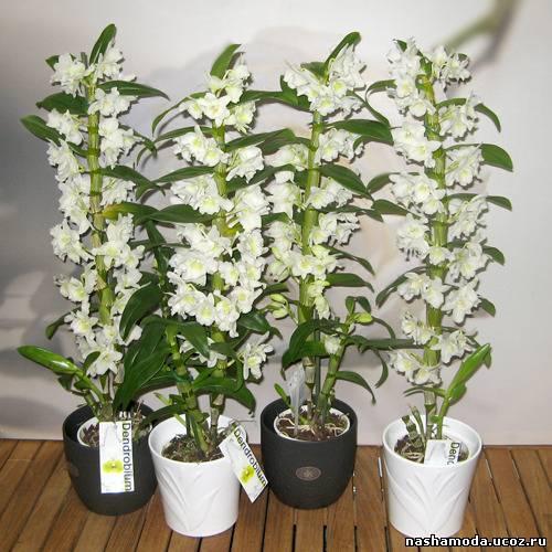 Орхидея dendrobium nobile уход в домашних условиях